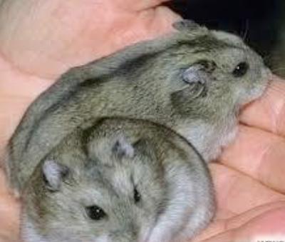 Beit Singer Animal Adoption - Hamster