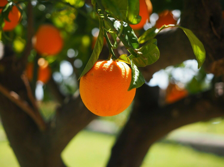 Orange Sweet Essential Oil