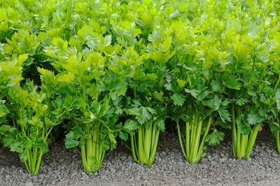 Bulk Quantity Fresh Organic Celery