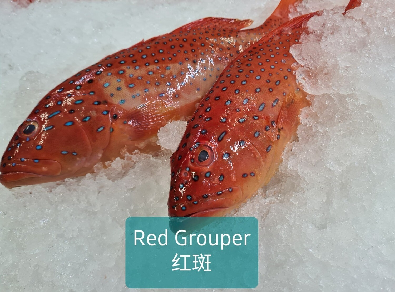 Pan Royal Blast Freeze Red Grouper 800g -1kg +/-