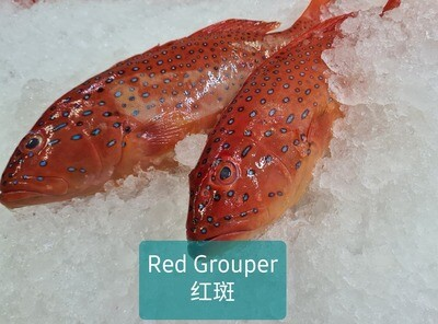 Pan Royal Blast Freeze Red Grouper 600-800g +/-