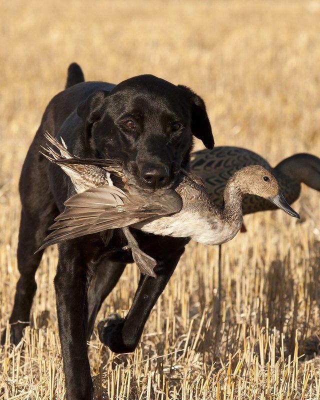 Finished Hunting Dog