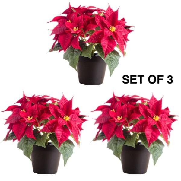 Christmas Flower Poinsettia - بنت القنصل