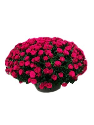 400 Roses in a  pot Lebanon