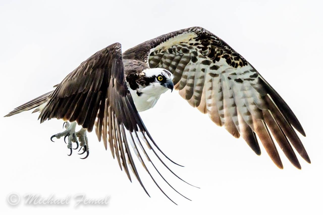 Print - Glaring Osprey