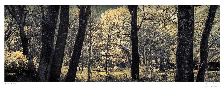 Majestic Sacred Forest - Newlands | Martin Osner