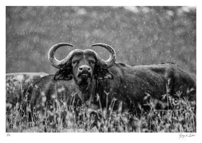 Classic Collection - Buffalo in the Rain | Ed 10 | Greg Du Toit
