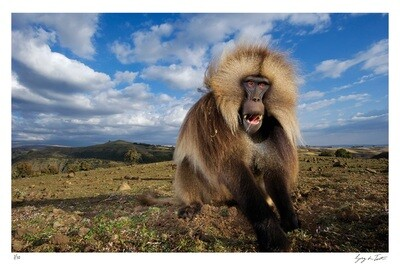 Classic Collection - Gelada Portrait | Ed 10 | Greg Du Toit