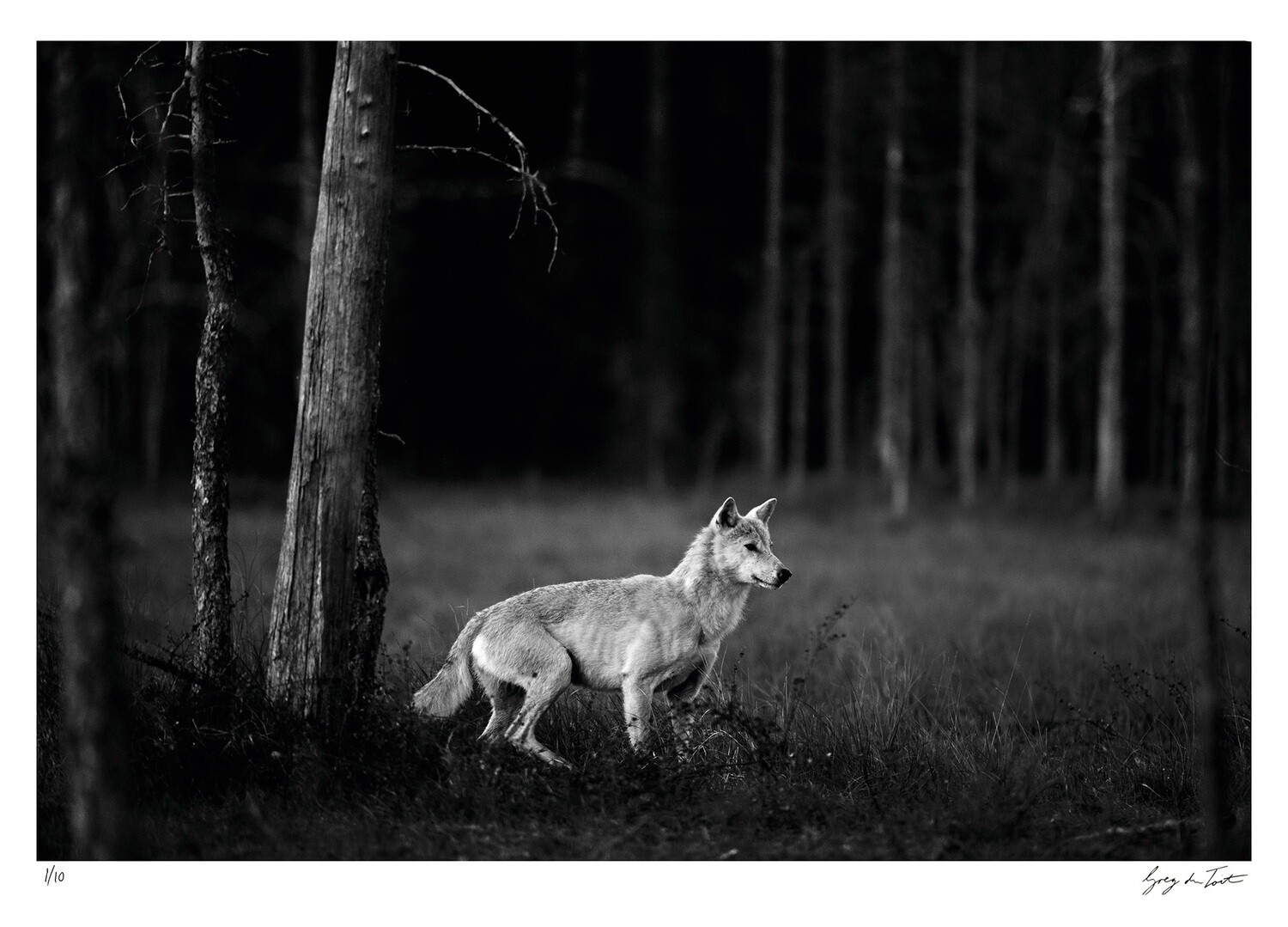 Classic Collection - The White Wolf | Ed 10 | Greg Du Toit