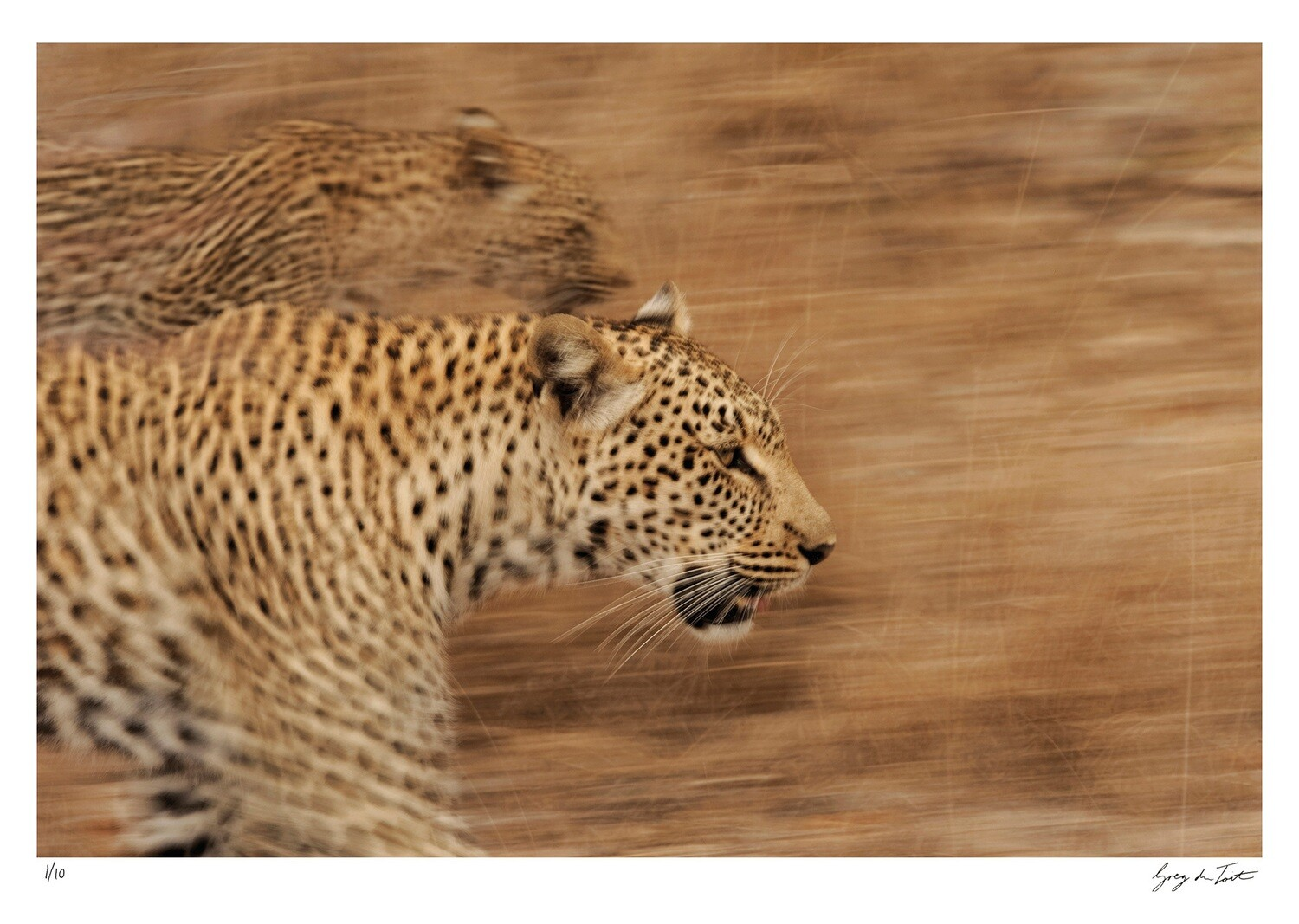 On the Move - Leopards on the Prowl | Ed 10 | Greg Du Toit
