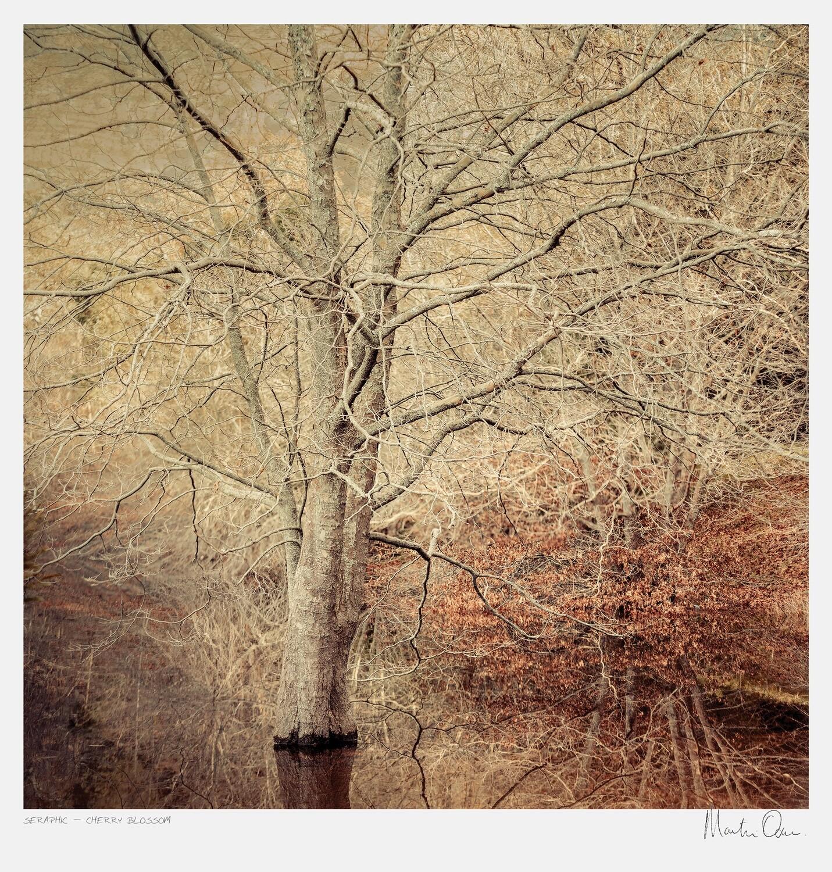 Seraphic | Cherry Blossom | Martin Osner