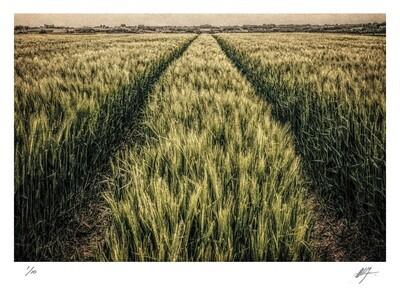 Wheat field with tractor tracks | Flanders | Ed 10 | Harry De Zitter