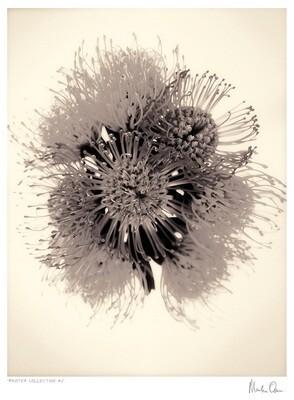 Protea Collection | Martin Osner