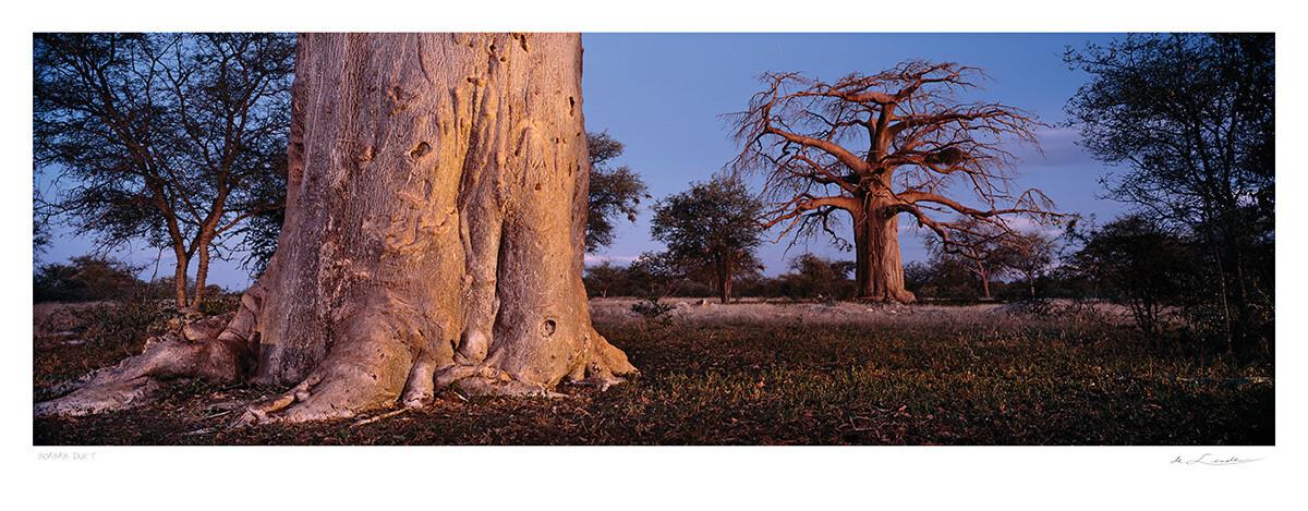 Baobab Duet | Ed 25 | Koos van der Lende