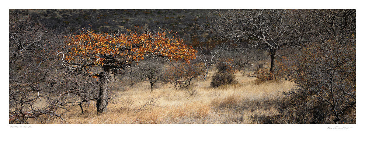 Mopane in Autumn | Ed 25 | Koos van der Lende