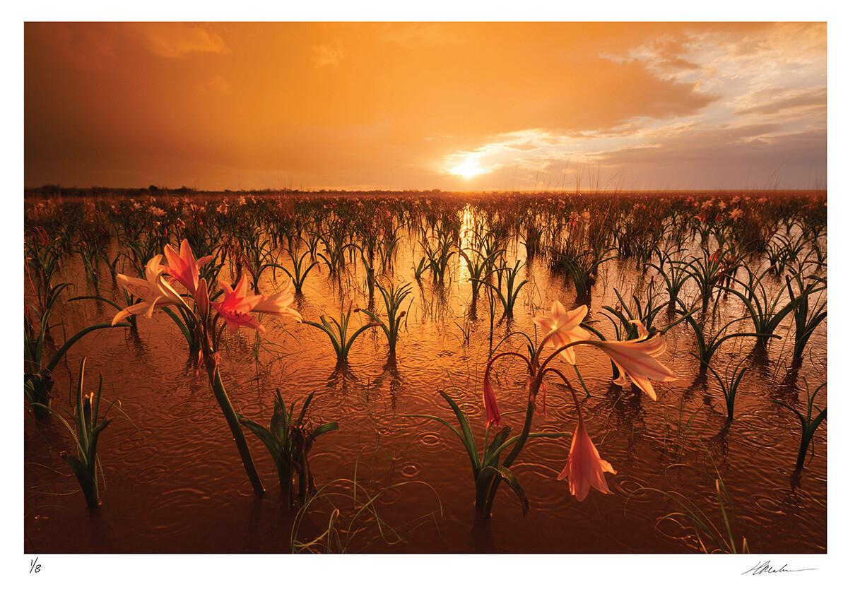 Sandhof Lilies | Ed 8 | Hougaard Malan