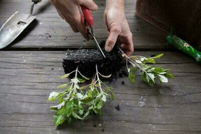 Foraging and planting snips for harvesting and root pruning