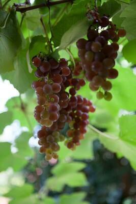 Red strawberry grape plant (Vitis Isabella), Fragola grape