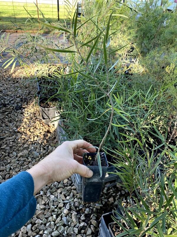 Gumbi gumbi plant (Pittosporum angustifolium)