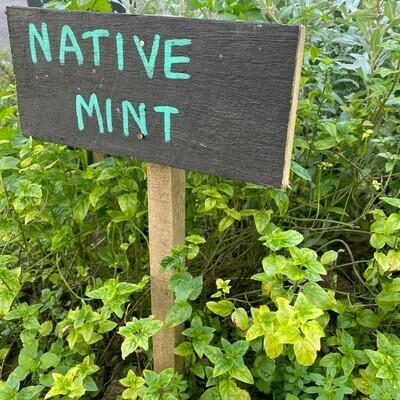Native river mint (Mentha australis)