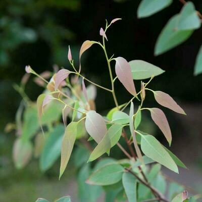 Strawberry Gum (Eucalyptus olida)