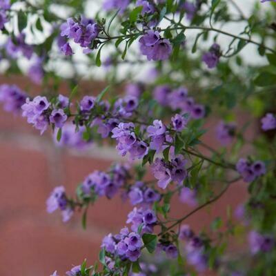 Native oregano or thyme (Prostanthera rotundifolia)