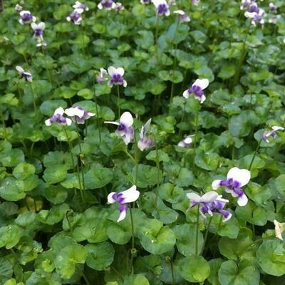 Native Violet (Viola hederacea)