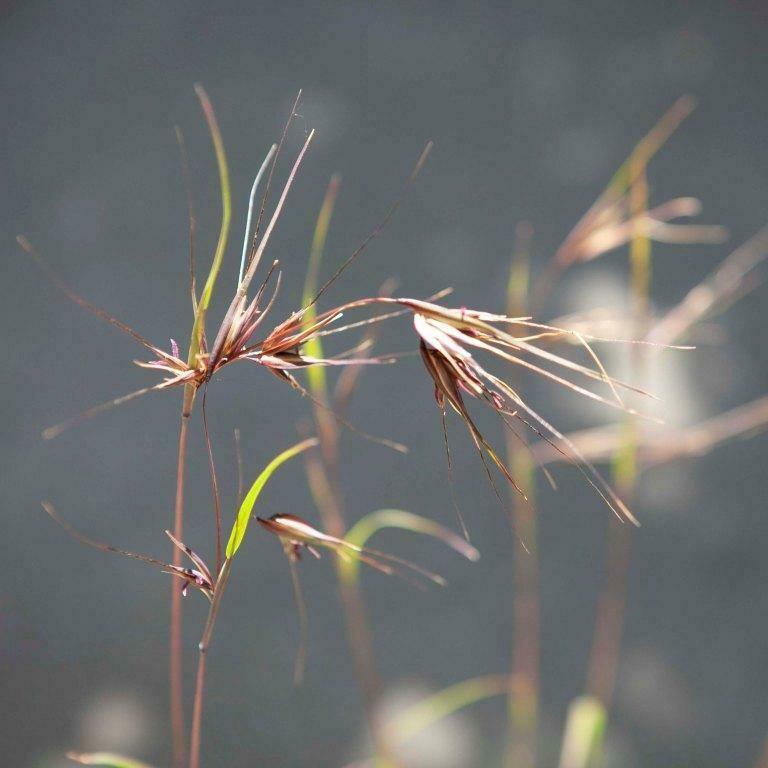 Kangaroo Grass (Themeda triandra)