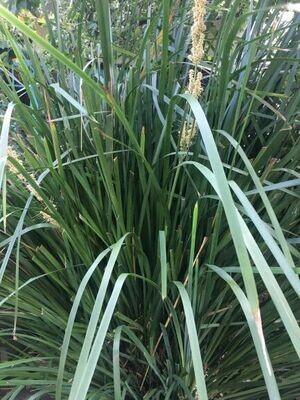 Mat rush (Lomandra longifolia) from