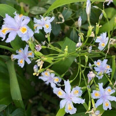 Japanese iris (Iris japonica)