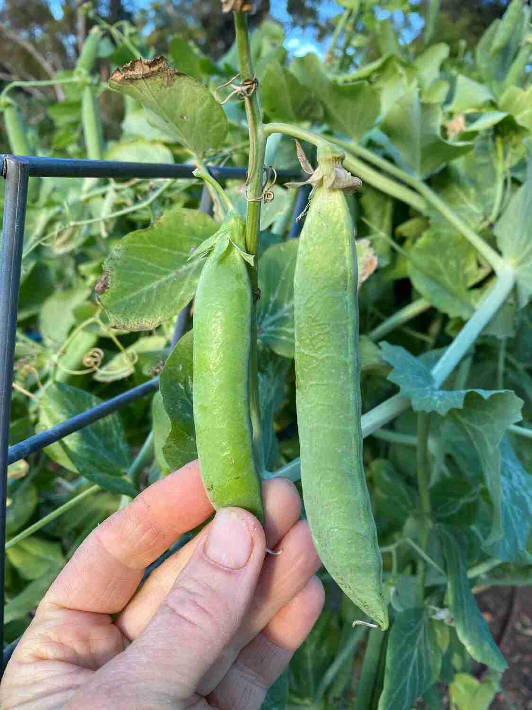 Telephone Pea Seeds