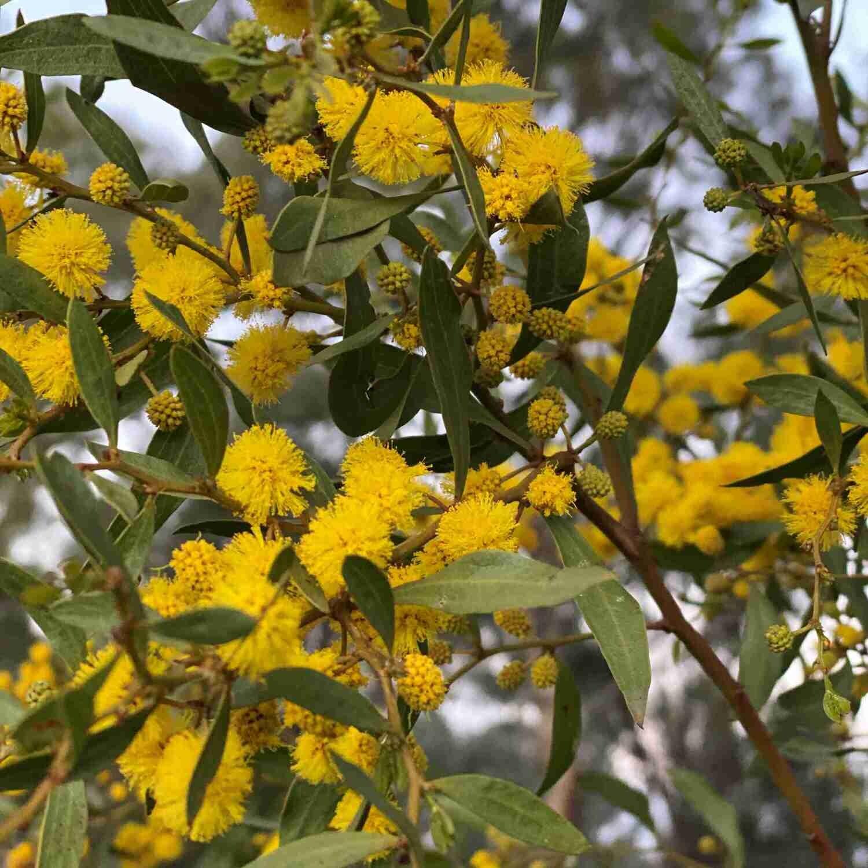 Varnish Wattle (Acacia verniciflua)