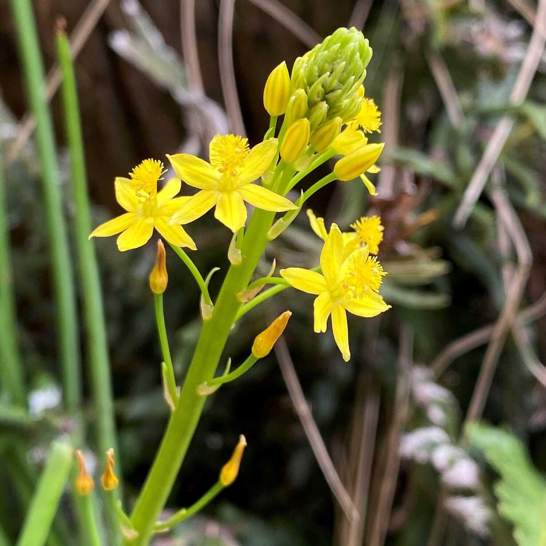 Bulbine lily (Bulbine bulbosa)