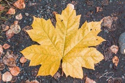 Large Fall Leaf
