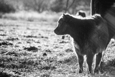 Spring time calf