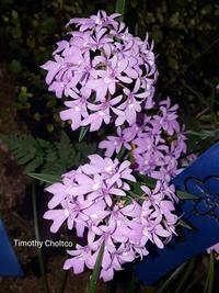 Epidendrum centropetalum x sib  [Oerstedella]