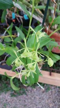 Epidendrum dixiorum