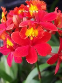 Epidendrum Max Valley