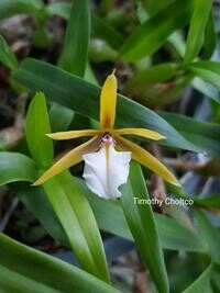 Dinema polybulbon [Epidendrum] (Mounted)