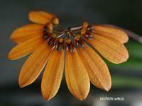Bulbophyllum mastersianum