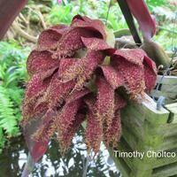 Bulbophyllum phalaenopsis [Blooming size]
