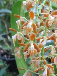 Epidendrum tuxtlense (polyanthum)