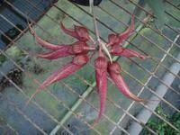 Bulbophyllum Krairit Vejvarut
