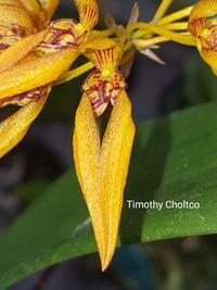 Bulbophyllum sp. [as sprucei]