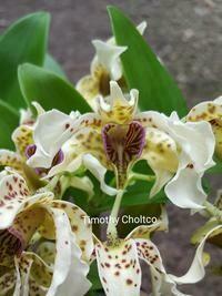 Dendrobium Little Atro x sib
