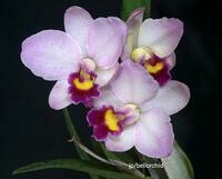 Cattlianthe Japanese Beauty 'Sakura' [syn. Slc.]