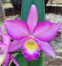 Rhyncattleanthe Love Avenue 'Serenade' [syn. Pot.]