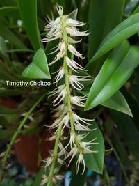Bulbophyllum cocoinum