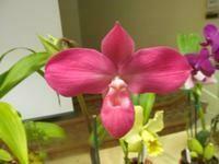 Phragmipedium Peruflora's Spirit