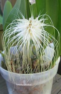 Bulbophyllum medusae 'New Ooi Leng Plants'